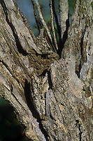 577970007 a wild eastern screech-owl otis asio perches in a cavity of a dead mesquite tree and its cryptic feather colors and pattern perfectly camouflages it from view in the rio grande valley of south texas