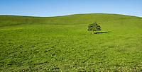 A lone tree stands on a green rolling hill along the Kohala Mountain Road, North Kohala, Big Island of Hawai'i.