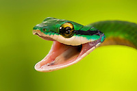 Close-up view of a satiny parrot snake (Leptophis depressirostris) with mouth wide open, Osa Peninsula, Costa Rica