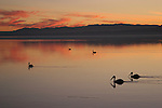 White pelicans at sunset at the Salton Sea