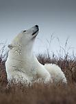 Canada, Manitoba, Churchill, polar bear (Ursus maritimus)