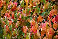 Autumn leaf color, Dogwood tree, Cornus 'Eddie's White Wonder'; Gay Edelson garden in Lafayette, California with fall color