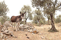 Mule / Donkey in olive grove, Lesbos Island, Greece