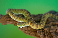 489040021 a captive broadleys bush viper atheris broadleyi sits coiled on a tree limb species is native to africa