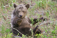 Grizzly bear club struggling for balance while sitting in a field - CA
