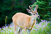 Deer with new antlers in field of  flowers