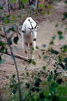 MAMMALS<br /> Mountain Goat<br /> Oreamnos americanus, Yukon