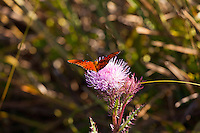 A Gulf Fritillery (Agraulis vanillae) butterfly on a thistle in the Shark Valley section of Everglades National Park, Florida.