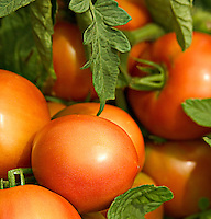 Photo of large, round, ripe, voluptuous, reddish-orange tomatoes