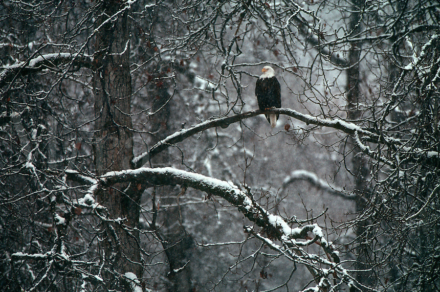 A bald eagle perches in a cottonwood tree during a light snow in the Alaska Chilkat Bald Eagle Preserve near Haines, Alaska.  Tongass National Forest