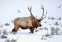 Yellowstone National Park, Wyoming: Bull elk moving through snow covered sage