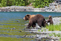Female Grizzly Bear with cub (Ursus arctos), Alaska, USA