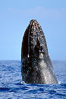 humpback whale, chin slap, Megaptera novaeangliae, Big Island, Hawaii, Pacific Ocean