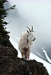 Mountain goat, Washington, USA