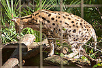 Serval, Big Cat Rescue