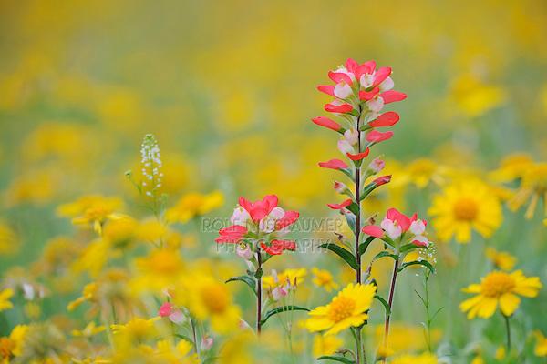 Texas Paintbrush (Castilleja indivisa) in field of Huisache Daisy (Amblyolepis setigera), Fennessey Ranch, Refugio, Coastal Bend, Texas, USA