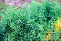Dill herb foliage growing, Anethum graveolens aka Lao coriander, is a culinary herb.