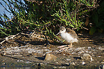 A black-necked stilt chick stands on wobbly legs next to a still pond