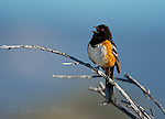 Spotted Towhee (Pipilo maculatus), male singing in spring, Mono Lake Basin, California, USA