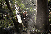 Cody Thomas, timber faller, works alone in the woods at Winter Harbor. He leaves home at 5 am and drives an hour to the site he'll work for the day. Fallers listen for each other on the hillside to make sure no one is hurt.  One partner on this day left early with an injury--another works nearby.  Cody wanted to be a timber faller since he was a kid, and following his father's lead. He got his first chain saw when he was 9 and he's been working since he was 17--he's now 28.  It is tiring work, carrying a heavy chain saw around all day--he sometimes replaces his saw annually.  His shoes are called corks--they have metal spikes in the bottom to walk on the trees without slipping, and they can cost $750.  Cody has a solid reputation as a timber faller.  He supports a wife and two children in Thorne Bay.