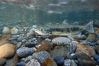 Chum Salmon<br /> <br /> PAUL VECSEI/ENGBRETSON UNDERWATER PHOTO