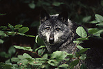 Gray wolf portrait, Coastal Range, British Columbia, Canada