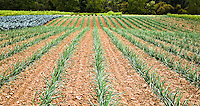 Straight, weed-free rows of onion plants in a farm field.