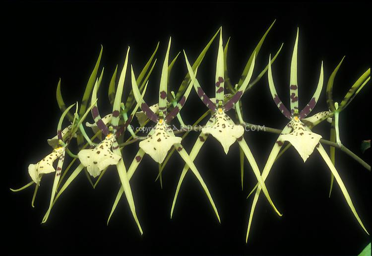 Brassia maculata 'Majus' Spider Orchid species