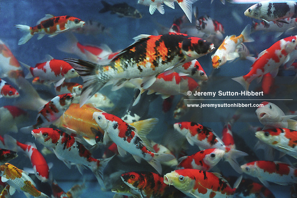 Tropical and ornamental fish and koi carp in tanks in for Japanese ornamental fish