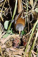 Bartmeise, Männchen füttert Küken im Nest, Bart-Meise, Panurus biarmicus, bearded reedling, bearded tit