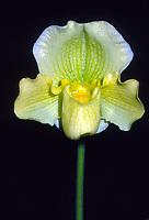 Paphiopedilum Rosalie 'Una' Orchid hybrid, early old cross, Aureum x Nitens-Leeanum, 1924