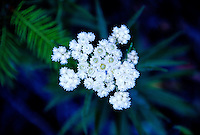 Pearly Everlasting (Anaphalis margaritacea), Mt. St. Helens National Volcanic Monument, Washington, US