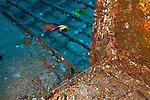 Wheelhouse Cleaner Wrasse and Ringtail Wrasse, Carthaginian, Maui Hawaii