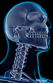 An inferior anterolateral view (right side) of the bones of the head and neck. The surface anatomy of the body is semi-transparent and tinted green. Royalty Free