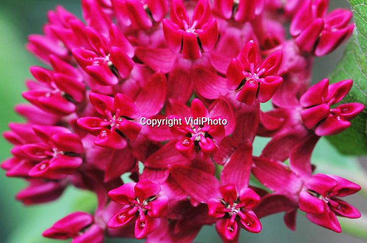 Foto: VidiPhoto..HARMELEN - Het is een van de meest exclusieve bloemen die in Nederland geteeld worden: de Asclepia Amalia. Op dit moment worden ze bij Kwekerij Bolk in Harmelen geoogst. In totaal is er slechts 1500 vierkante meter areaal van deze bloem met kroontjes (vandaar de naam Amalia). Kweker Baldwin Bolk bezit daarvan ruim 1000 vierkante meter. De bloem is vrij lastig te telen en te vermeerderen. Ook de oogst is arbeidsintensief. Direct na het plukken moet de sapstroom gestopt worden met heet water. Bolk verhandelt via bloemenveiling Plantion in Ede zo'n 15.000 'takken' per jaar. Het grootste deel daarvan gaat naar het buitenland..