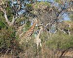 Reticulated giraffe(s), Botswana