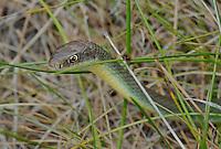 462000002 a wild western yellow-bellied racer coluber constrictor mormon crawls through deep meadow grass along ash creek near ash creek campground lassen county california
