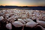 Whooper swan, Cygnus cygnus, group on water, setting sun, lake Kussharo-ko, Hokkaido Island, Japan, japanese, Asian, wilderness, wild, untamed, ornithology, snow, graceful, majestic, aquatic.Japan....