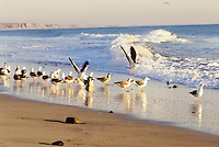 SEAGULLS- SANDPIPERS- BEACH PLANTS<br /> San Onofre State Park CA