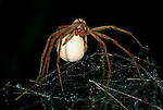 Hunting Spider, Pisaura mirabilis, Wolf spider, female carrying egg sac, silk ball, on nursery web, Provence, mother, nurturing, caring.France....