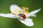 Ladybird, on Wood Anemone, Anemone nemorosa, Kent, UK