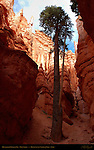500 year old Douglas Fir, Wall Street Canyon, Navajo Trail, Bryce Canyon National Park, Utah