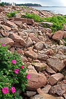 Wild Roses at Ship Harbor, Acadia  #S1