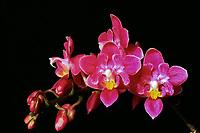Phalaenopsis equestris 'Bedford Fleur Delice', JC/AOS  (Peloric) orchid species