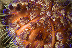 Anilao, Philippines; a detail view of a Fire Urchin (Asthenosoma varium)