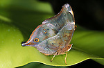 Mother of Pearl Butterfly, Salamis parhassus, resting on leaf, underside of wings with eye spots, Central Africa.Africa....
