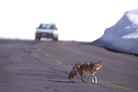 617503053 a wild coyote canis latrans attempts a dangerous road crossing with oncoming traffic on a winter morning near mammoth mountain california