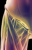 An anterior view of stylized muscles of the right hip. Royalty Free