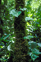 Begonia convolvulacea a climbing species in Atlantic rainforest Serra do Mar São Paulo State Brazil