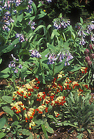 Spring flower garden combination: red Primula veris and Mertensia Virgina bluebells in planting combination